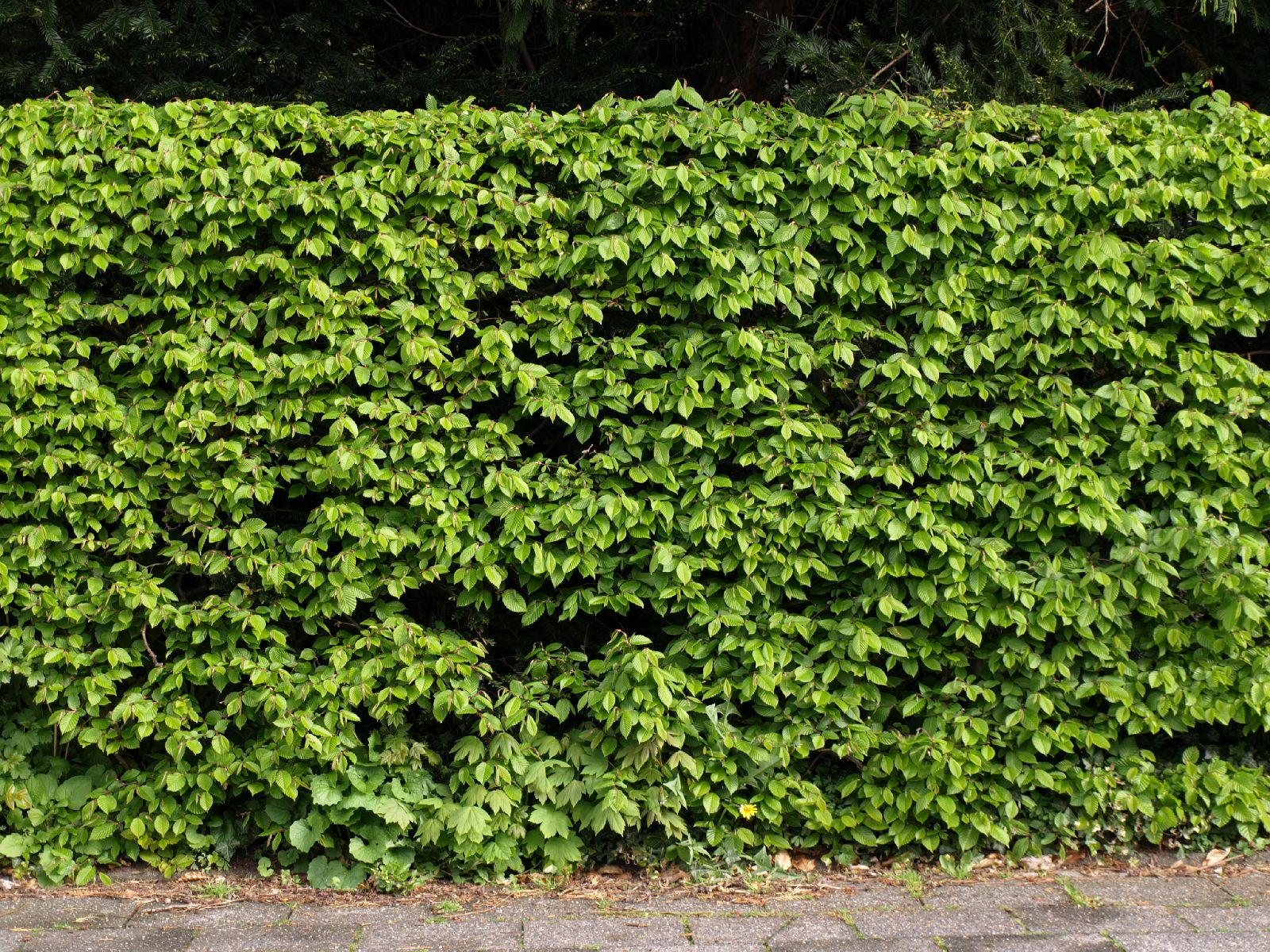 Hedge Bushes: Free Hedges Texture Photo Gallery