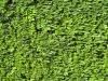 Plants-Hedges_Photo_Texture_B_00756