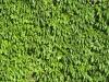 Plants-Hedges_Photo_Texture_B_00757