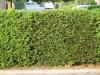 Plants-Hedges_Photo_Texture_B_03070