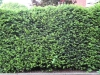 Plants-Hedges_Photo_Texture_B_03090