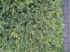 Plants-Hedges_Photo_Texture_B_03170