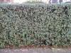 Plants-Hedges_Photo_Texture_B_11830