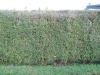 Plants-Hedges_Photo_Texture_B_12220