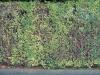 Plants-Hedges_Photo_Texture_B_12360
