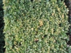 Plants-Hedges_Photo_Texture_B_3837