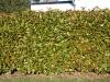 Plants-Hedges_Photo_Texture_B_P1259961