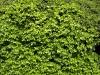 Plants-Hedges_Photo_Texture_B_P4131056