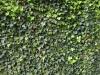 Plants-Hedges_Photo_Texture_B_P4131129