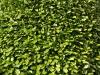 Plants-Hedges_Photo_Texture_B_P4171311