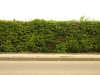Plants-Hedges_Photo_Texture_B_P4232651