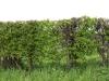 Plants-Hedges_Photo_Texture_B_P4261851