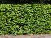 Plants-Hedges_Photo_Texture_B_P5022090