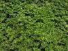 Plants-Hedges_Photo_Texture_B_P5022110