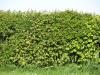 Plants-Hedges_Photo_Texture_B_P5032312