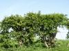 Plants-Hedges_Photo_Texture_B_P5042406