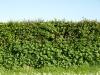 Plants-Hedges_Photo_Texture_B_P5072586