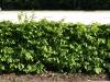 Plants-Hedges_Photo_Texture_B_P5112621