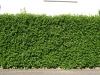 Plants-Hedges_Photo_Texture_B_P5112629