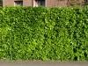 Plants-Hedges_Photo_Texture_B_P5112647