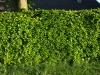 Plants-Hedges_Photo_Texture_B_P5122719