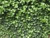 Plants-Hedges_Photo_Texture_B_P5123677