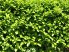 Plants-Hedges_Photo_Texture_B_P6013230