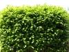 Plants-Hedges_Photo_Texture_B_P6013231