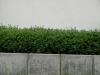 Plants-Hedges_Photo_Texture_B_P6083306