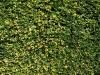 Plants-Hedges_Photo_Texture_B_P6143356